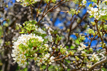 Close-up view of pear tree branch with buds and sprigs of blossoms growing on backyard of south australian suburban house