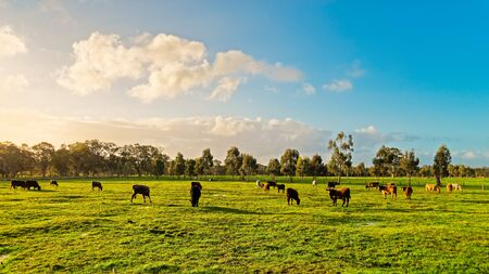 Las vacas que pastan en una granja diaria en las zonas rurales de Australia del Sur durante la temporada de invierno