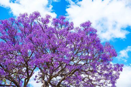 Jacaranda tree blossoms under blue sky in Adelaide, South Australia