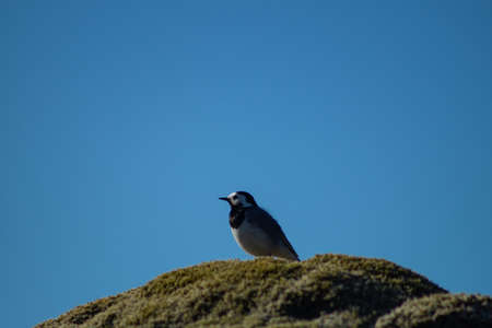 Close-up of White wagtail standing on a mossy rock with clear blue sky