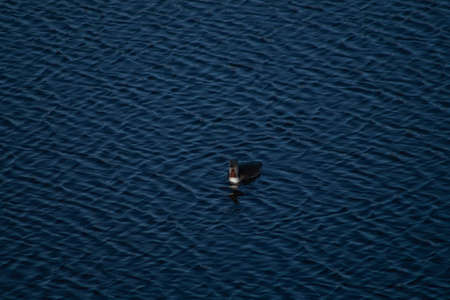 Black-throated loon swimming in a mountain lake in the norwegian mountains
