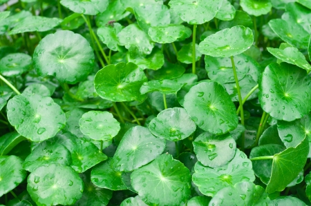 Tiger Herbal Scientific name  Centella asiatica Urban, Family Name  APIACEAE Herbaceous plant life was like for many years by marsh Climbing stems to the ground,