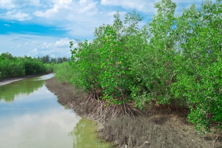 Mangrove plants growing in wetlands.  And breeding animals. photo