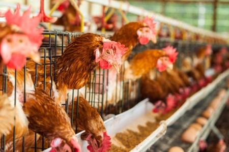 gripe: Cientos de huevos de gallina. Comer y huevos.