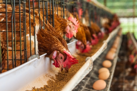agriculture industry: Hundreds of chicken eggs. Eating and eggs. Stock Photo