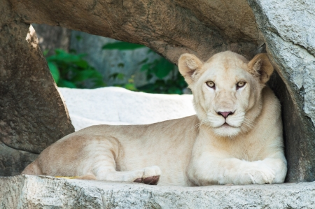 White Lion sitting on a stone pedestal. photo