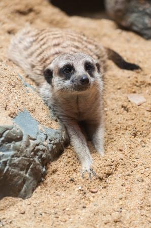 erdmaennchen: Meerkat cute little brown on the sand.