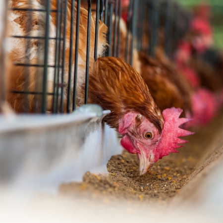 food industry: Hundreds of chicken eggs. Eating and eggs. Stock Photo