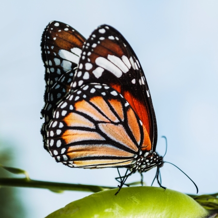 danaus: Common Tiger butterfly (Danaus genutia) commonly found in Thailand. Stock Photo