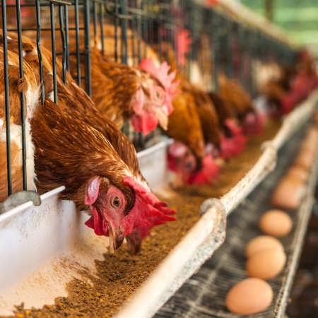 Hundreds of chicken eggs. Eating and eggs. Stock Photo