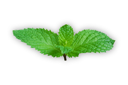 Mint green leaves on a white background