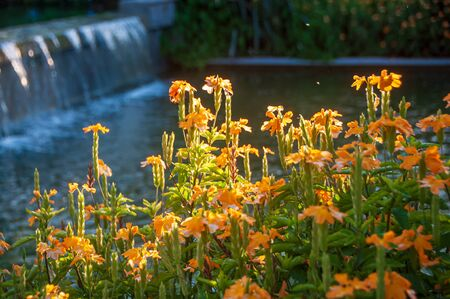 Bloom yellow flower brighten from sunshine in garden with waterfall and pond background