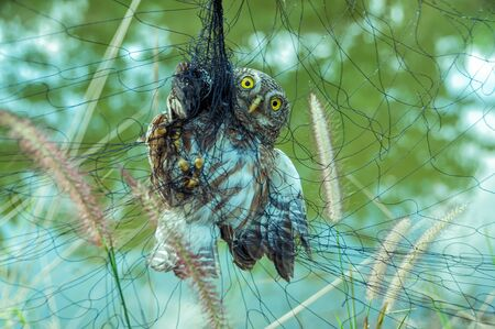 Trapped owl hanging on net in nylon netting. (It was rescued and nursed back to health).