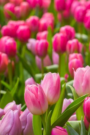 blue tulip: Tulip. Beautiful bouquet of tulips. colorful tulips. tulips in spring,colourful tulip