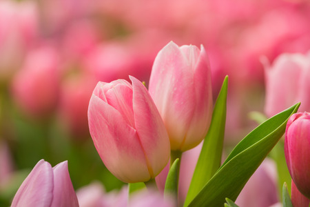 Tulip. Piękny bukiet tulipanów. kolorowe tulipany. tulipany na wiosnę, kolorowe tulipan Zdjęcie Seryjne