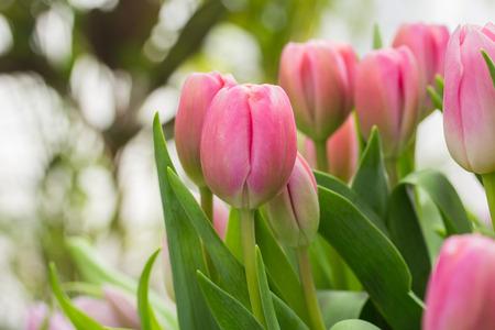 tulip: Tulip. Piękny bukiet tulipanów. kolorowe tulipany. tulipany na wiosnę, kolorowe tulipan