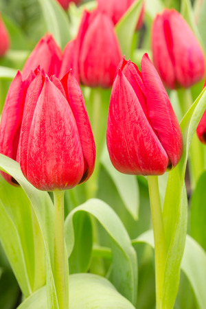 gentile: red tulip flowers on the garden, outdoor park Stock Photo
