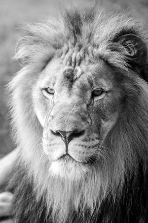 mane: A closeup photo of a lion with a large mane.