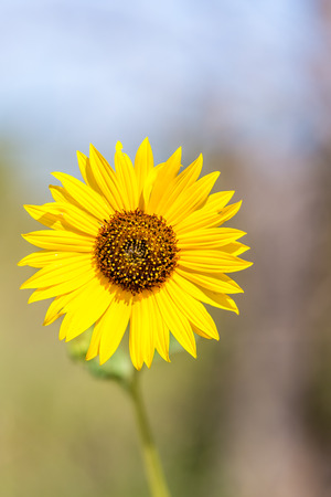 botanical farms: A closeup of a single wild sunflower in Kansas.