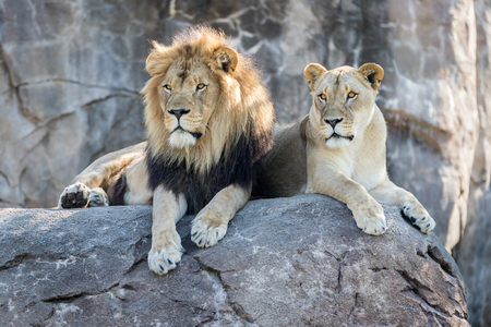 Male and female lion sitting on a rock.