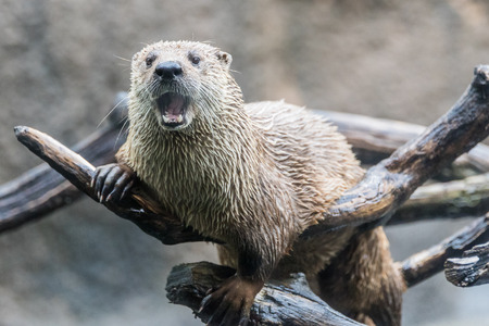 kansas: Otter sitting on a branch out of the water.