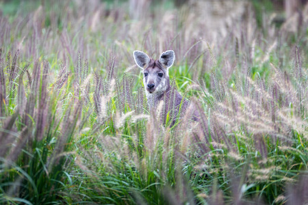 A Wallaby in a field of a tall grass