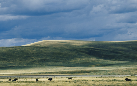 Free Range Cattle and Vast Open Landscape
