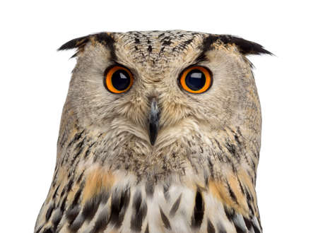 Close-up of a Siberian Eagle Owl - Bubo bubo (3 years old) in front of a white background Banque d'images