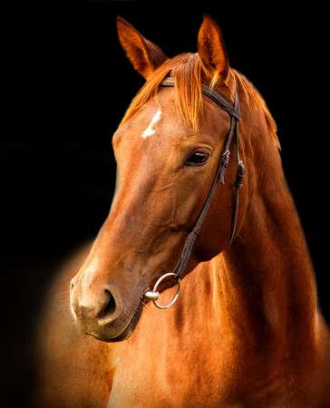 Portrait of red horse Trakehner on a black background