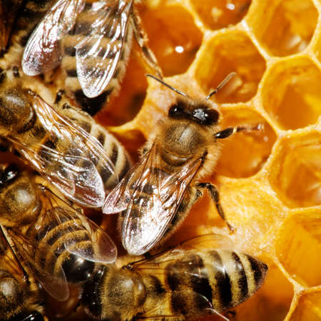 Macro of working bee on honeycells. Imagens