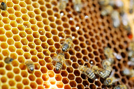Beeswax honeycombs with fresh honey and bees