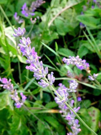 lavender in the garden 免版税图像