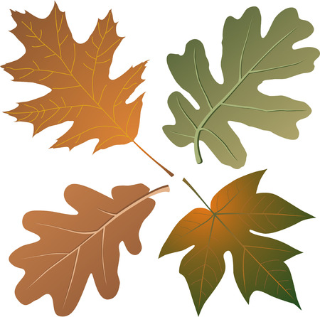 autumn colouring: Autumn oak and maple leaves of bright colouring