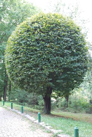 Crone of a tree in the form of a sphere photo