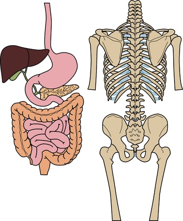 intestines: Internal of digestion and skeleton of the person