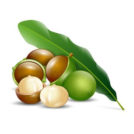 Macadamia-Nüsse weißen Hintergrund natürlichen organischen Illustration