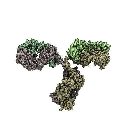 antibody: 3D view of an antibody (IgG, immunoglobulin)