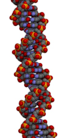 dna double helix: DNA 3D structure. DNA is the main carrier of genetic information in all organisms. The DNA shown here is part of a human gene and is shown as a linear double helix.