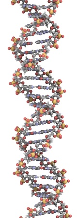 DNA 3D structure. DNA is the main carrier of genetic information in all organisms. The DNA shown here is part of a human gene and is shown as a linear double helix. Stock Photo - 12857456