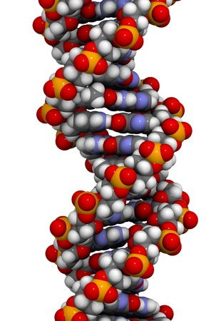 DNA 3D structure. DNA is the main carrier of genetic information in all organisms. The DNA shown here is part of a human gene and is shown as a linear double helix. photo