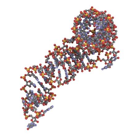 biosynthesis: Structure of a transfer RNA (tRNA, IletRNA) molecule