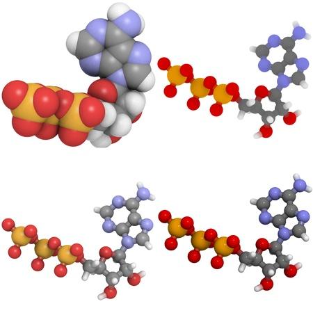 triphosphate: A molecule of adenosine triphosphate (ATP), the main energy transport molecule in most organisms.
