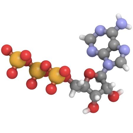 atp: A molecule of adenosine triphosphate (ATP), the main energy transport molecule in most organisms.