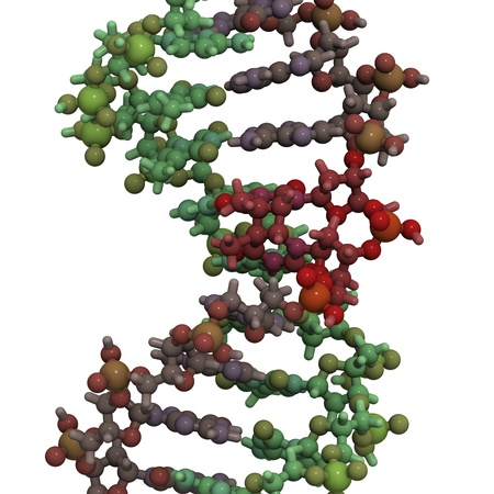 dimer: Chemical structure of DNA damaged by light. UV radiation has caused two thymine residues to form a photodimer. Such DNA damage can give rise to mutations and eventually cancer, especially melanoma (skin cancer).  Stock Photo
