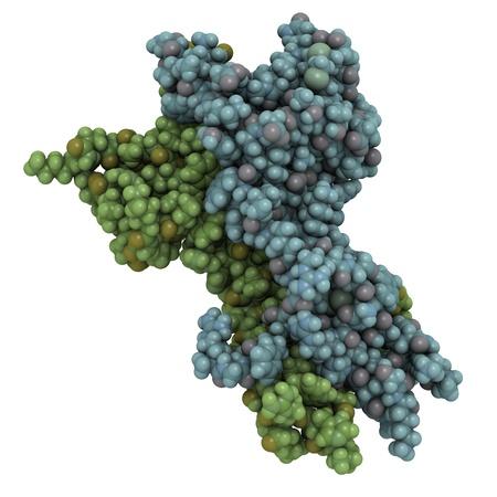 poronienie: Struktura chemiczna czynnika wzrostu nerwów (NGF) cząsteczki białka. Białko to jest ważne dla sygnalizacji do wzrostu, konserwacji i przetrwania niektórych komórek nerwowych.
