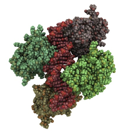 Chemical structure of the core domain of p53 tumor suppressor protein in complex with DNA. Functional p53 protects against cancer by inhibiting cell cycle progression in cells with DNA damage. Stock Photo - 16647815