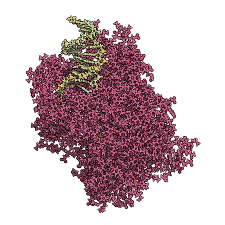enzyme: Chemical structure of T7 RNA polymerase bound to DNA and RNA. This enzyme makes a strand of RNA from a double stranded DNA template. Stock Photo