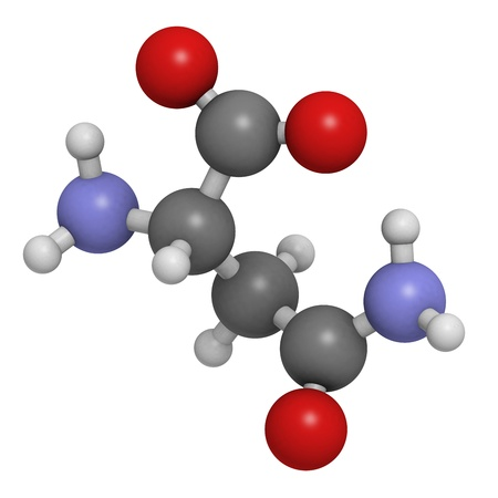 biosynthesis: Asparagine (Asn, N) amino acid, molecular model. Amino acids are the building blocks of all proteins. Atoms are represented as spheres with conventional color coding: hydrogen (white), carbon (grey), oxygen (red), nitrogen (blue)
