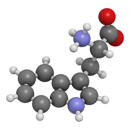 drowsiness: Tryptophan (Trp, W) amino acid, molecular model. Amino acids are the building blocks of all proteins. Atoms are represented as spheres with conventional color coding: hydrogen (white), carbon (grey), oxygen (red), nitrogen (blue)