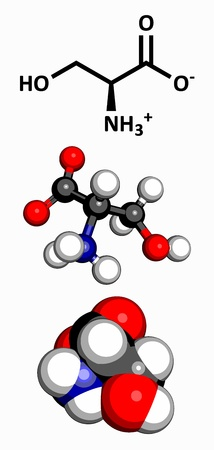 Serine  Ser, S  amino acid, molecular model  Amino acids are the building blocks of all proteins  Atoms are represented as spheres with conventional color coding  hydrogen  white , carbon  grey , oxygen  red , nitrogen  blue Stock Vector - 18179930